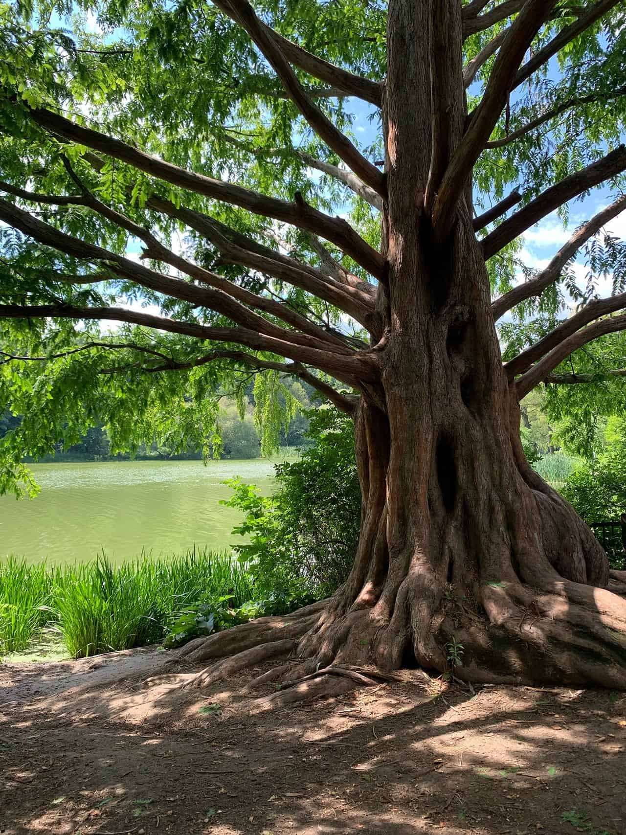 large old tree near river at high park