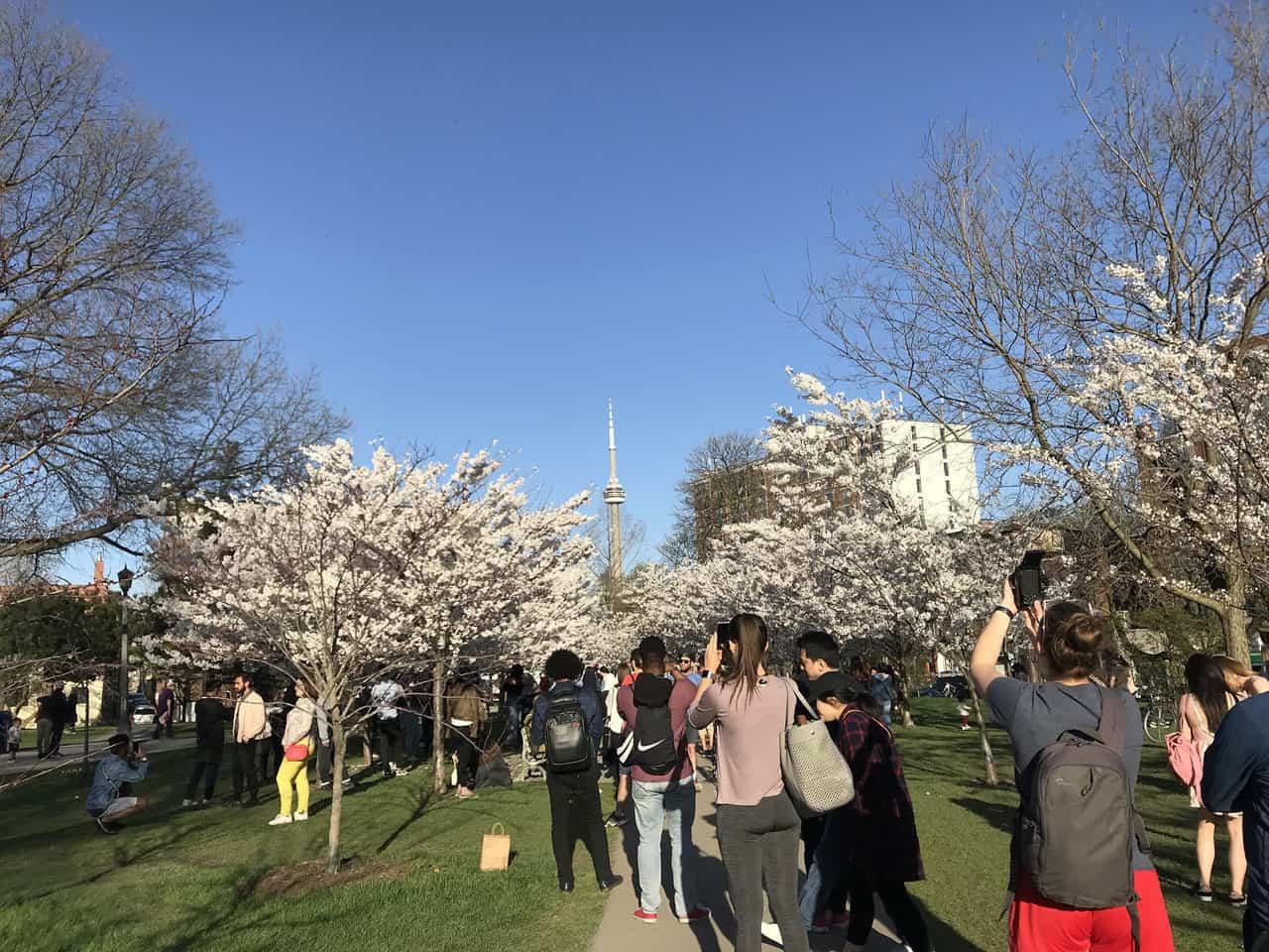 trees flowering at trinity bellwoods park